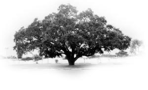 council oaktree 11X17 B&W