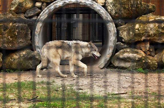 A timber wolf, one of many new additions at Billie Swamp Safari, makes itself at home at the Big Cypress attraction. Dozens of new rescued and adopted animals, both native and exotic, have been added to the venue's vast menagerie.