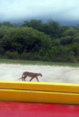 A panther strolls past the scale outside the Big Cypress rock mining office June 9. Tribal employee Maria Marcano took a photo of the big cat.